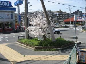 信号角の桜